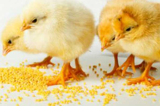 цыплята у корма