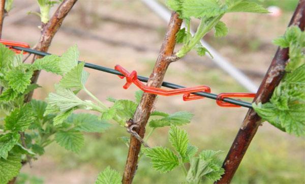 подвязка малины