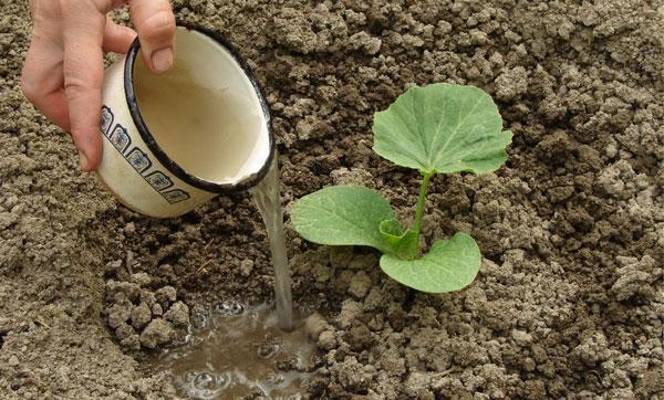 полив тыквы