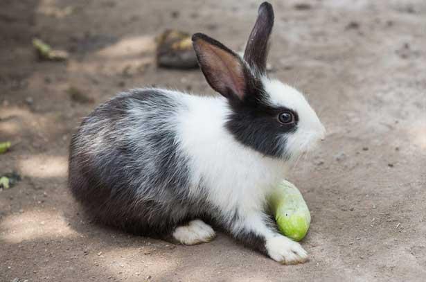 кролику огурец в рационе