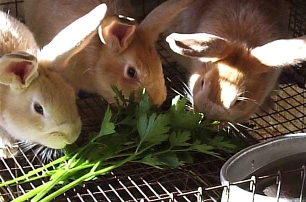 петрушка кроликам