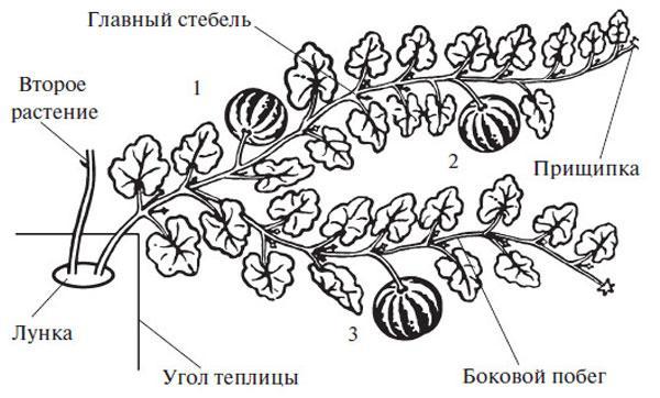 формирование арбуза