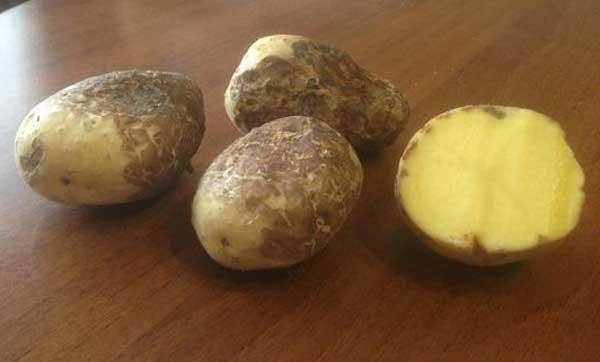 картофель с паршой