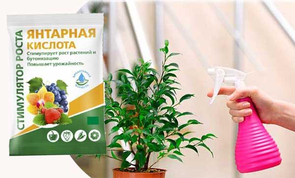 янтарка для комнатных растений