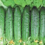 Описание и характеристика гибрида огурца Апрельский F1: выращивание и уход