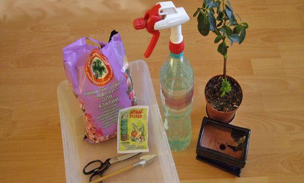 Азалия — уход в домашних условиях, размножение и пересадка после покупки
