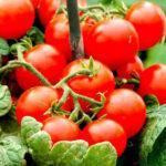 """Уход и выращивание в домашних условиях помидоров сорта """"Балконное чудо"""""""