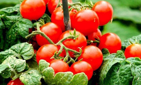 сорт томата балконное чудо