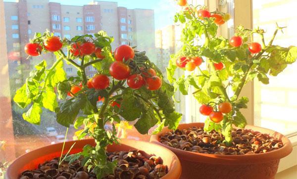 выращиваем томат на окне