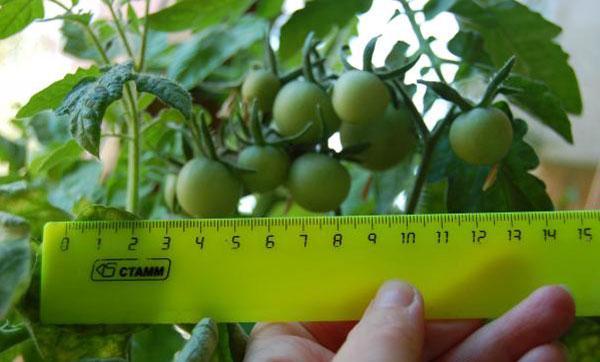 плодоношение томата
