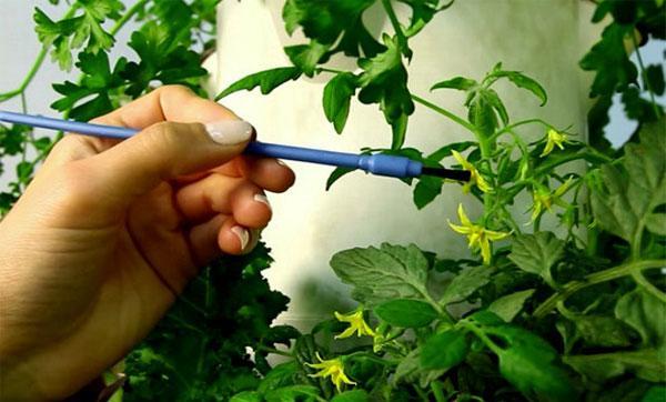 опыление томата