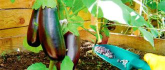 Как правильно и чем подкормить баклажаны: когда и сколько вносить удобрений