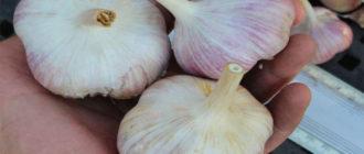 Описание сорта чеснока Добрыня: урожайность, выращивание и уход