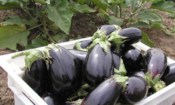 сбор урожая баклажанов