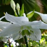 цветок Эухарис