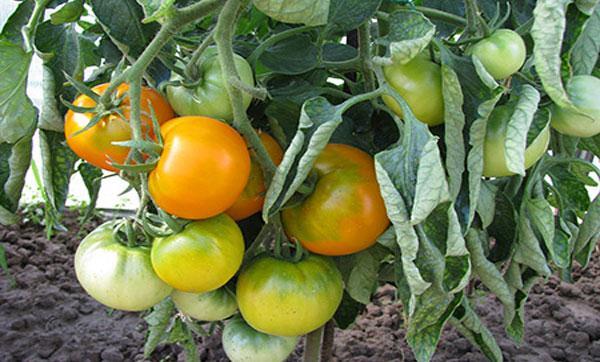 урожайность томата Хурма