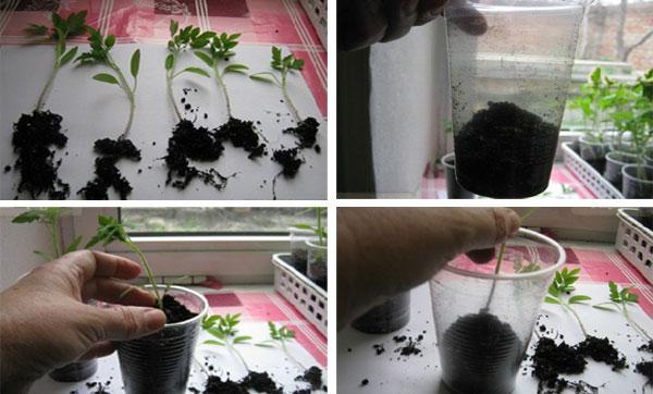процесс пикировки томатов