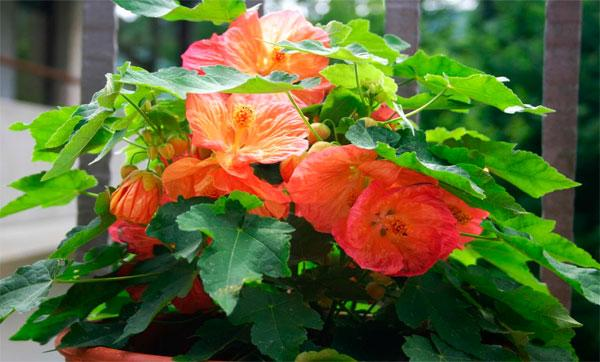уход за цветком абутилон