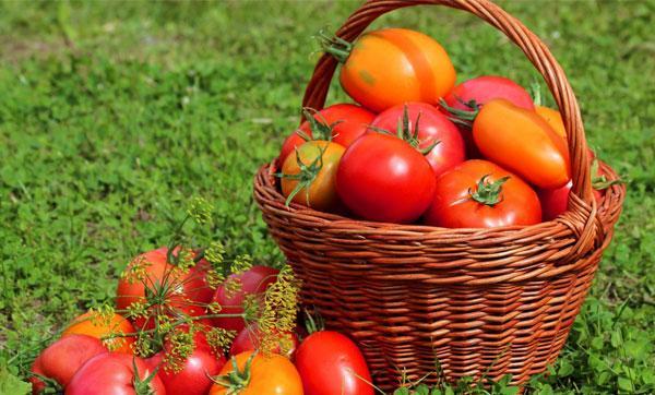 польза или вред томата
