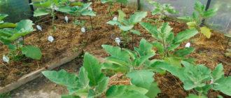 Особенности посадки баклажанов в теплицу: схема высадки рассады