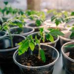 Выращивание рассады помидор в домашних условиях, особенности ухода