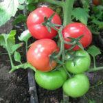 Характеристика и описание сорта томата Белый налив, выращивание и уход