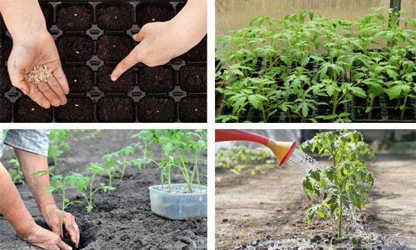 агротехники томатов