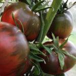 """Характеристика и описание томата сорта """"Черный принц"""", выращивание и уход"""