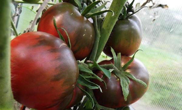 томат чёрный принц