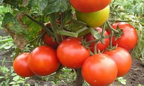 урожайный куст томата Джина