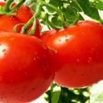 "Характеристика и описание сорта томата ""Санька"": выращивание и уход"