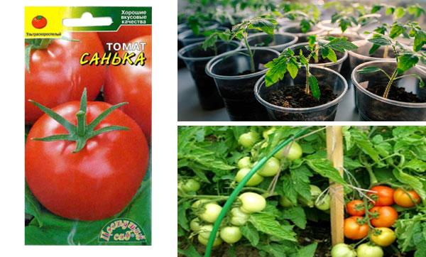 выращивание томата Санёк