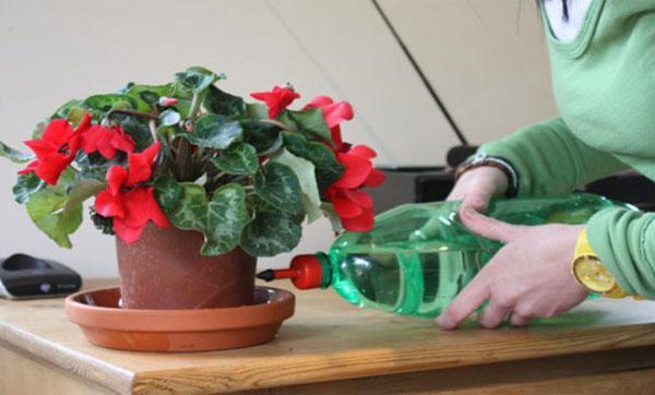 полив цветка Цикламен