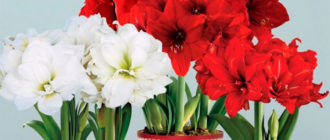 Уход в домашних условиях за цветком амариллис: посадка, размножение