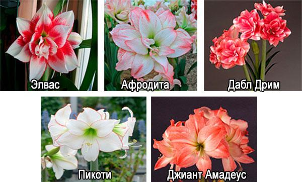 разновидности амариллиса