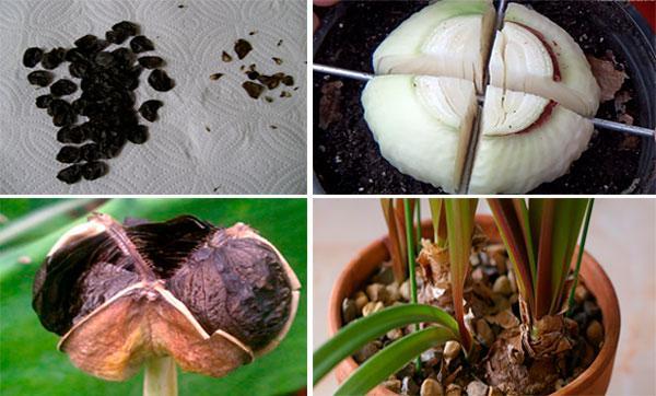 размножение амариллиса
