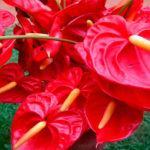 Уход в домашних условиях за цветком антуриум: пересадка, размножение