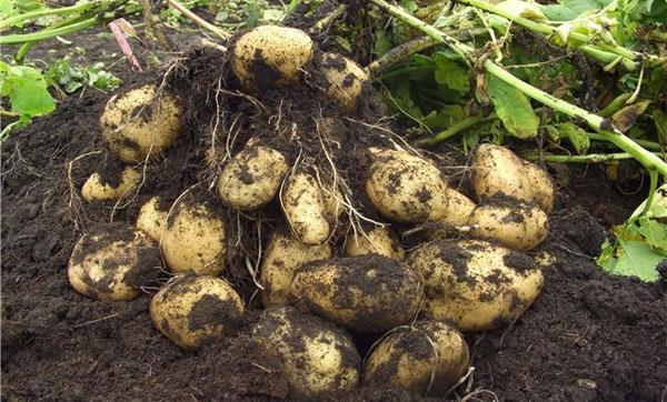 урожайность картофеля сорта Адретта