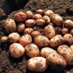 Обзор характеристик и описание сорта картофеля Аврора, выращивание и уход