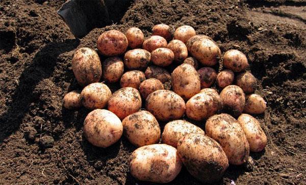 картофель сорт Аврора