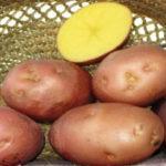 Обзор характеристик и описания сорта картофеля Беллароза, выращивание и уход