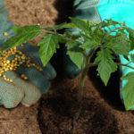 Чем лучше подкормить помидоры после высадки в грунт: как и когда вносить удобрение?