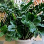 Уход в домашних условиях за цветком Долларовое дерево (Замиокулькас), размножение