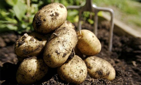 урожайность картофеля Гала