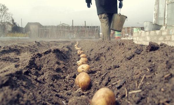 посадка картофеля Гала