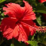 Уход в домашних условиях за цветком Гибискус: пересадка, размножение