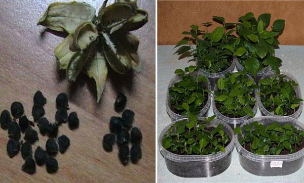 размножение цветка семенами