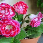 Уход в домашних условиях за цветком Глоксиния, пересадка, размножение