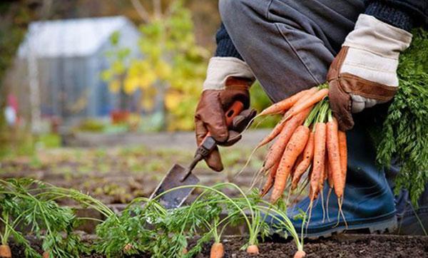 сбор урожая морковки