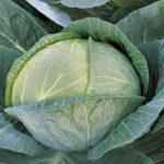 Обзор характеристик и описание гибрида капусты Мегатон F1, выращивание и уход